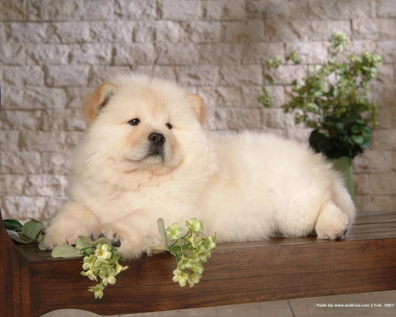 Chow Chow Puppies: Chow Chowchowpuppys Breed