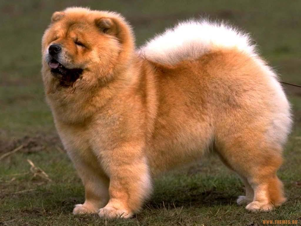 Chow Chow Dog: Chow Cute Chow Chow Dog Breed