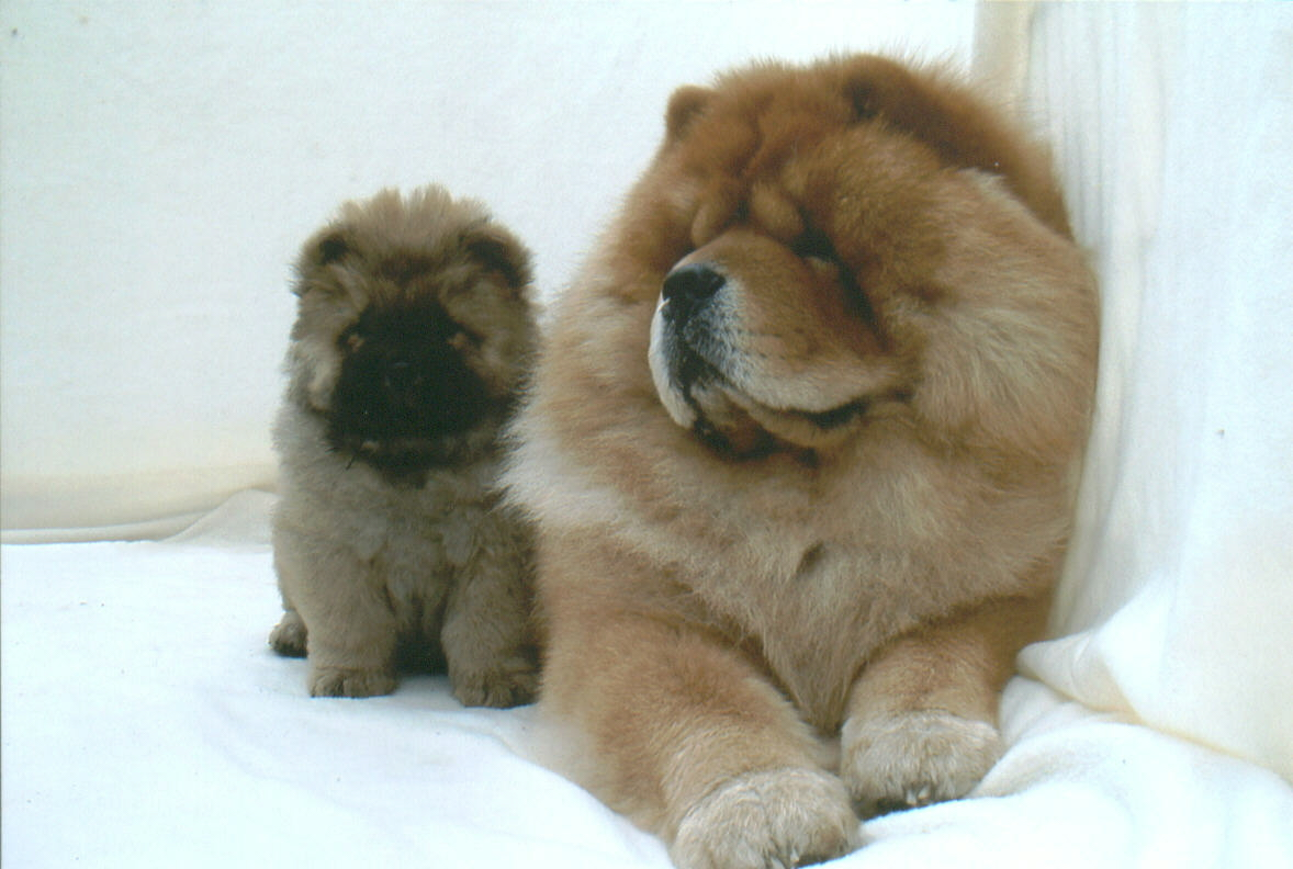 Chow Chow Dog: Chow Know About Chow Chow Breed