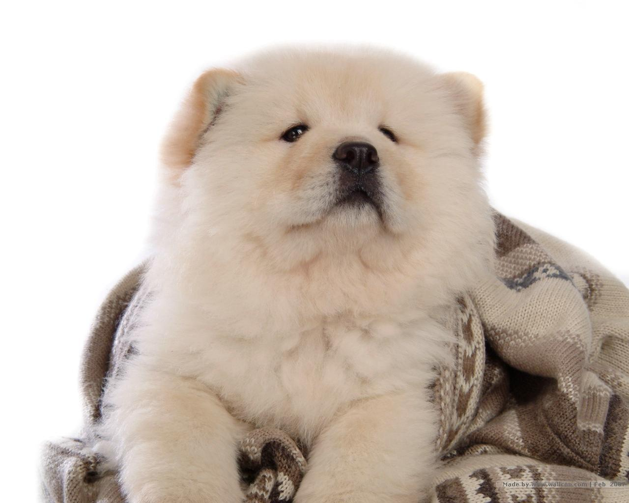 Chow Chow Puppies: Chow Puffy Lion Dog Chow Chow Breed