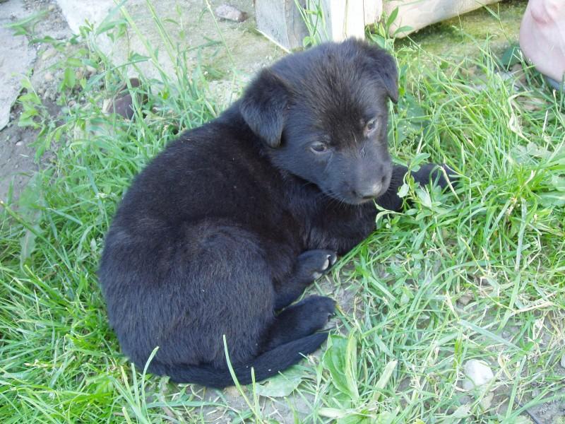 Cierny Sery Dog: Cierny Cierny Sery Puppy On The Grass Breed