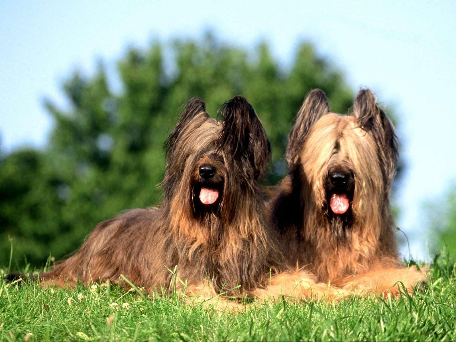 Cierny Sery Puppies: Cierny Couple Of Briard Dogs Breed