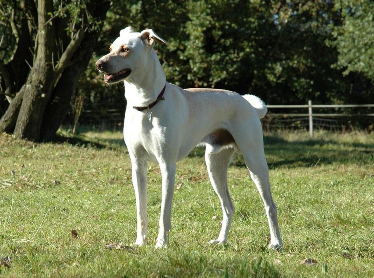 Cierny Sery Puppies: Cierny Cretan Hound Dog Breed
