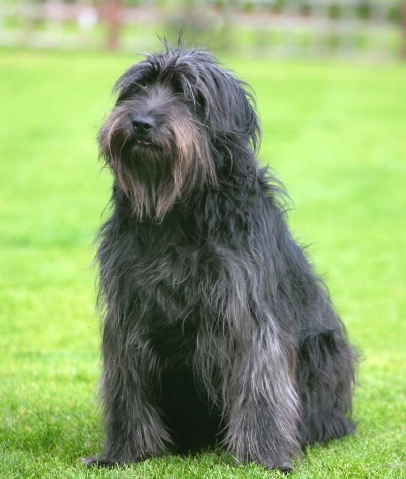 Cierny Sery Dog: Cierny Cue Catalan Sheepdog Dog Breed