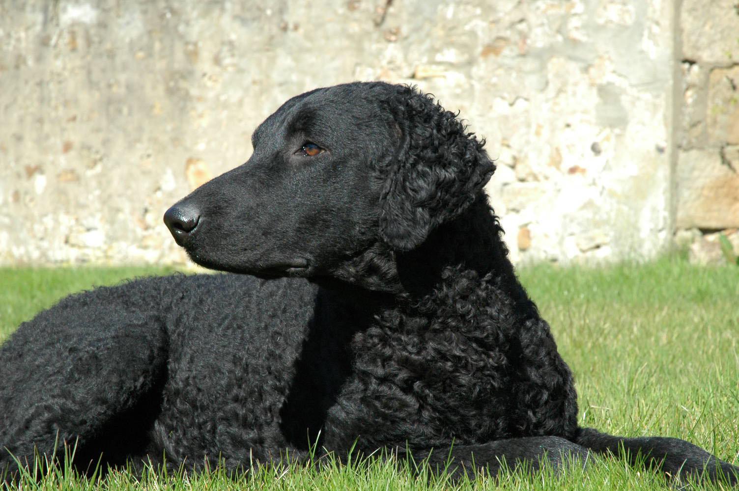 Cierny Sery Puppies: Cierny Curly Coated Retriever Dog Breed
