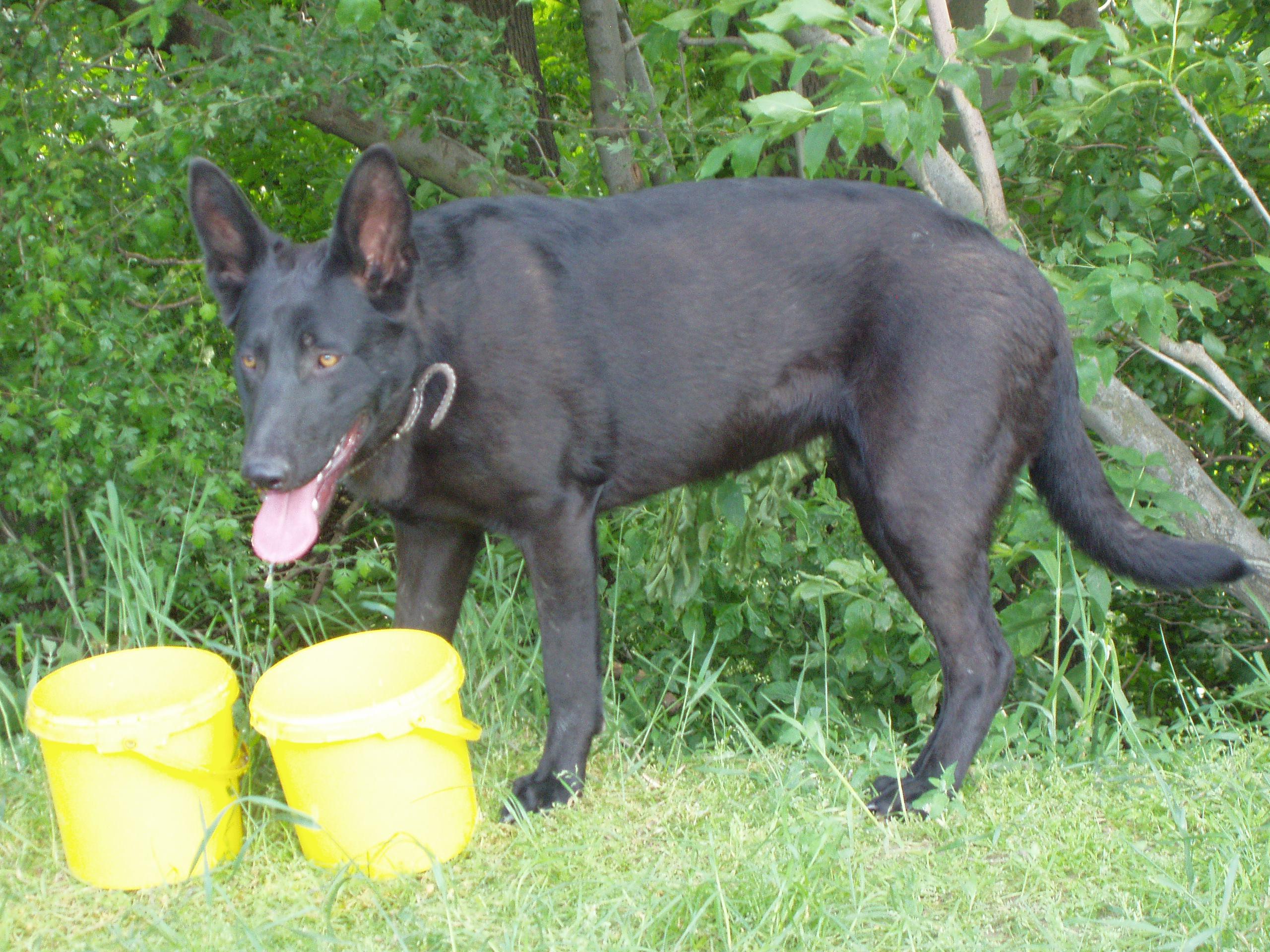 Cierny Sery Dog: Cierny Cute Cierny Sery Dog Breed
