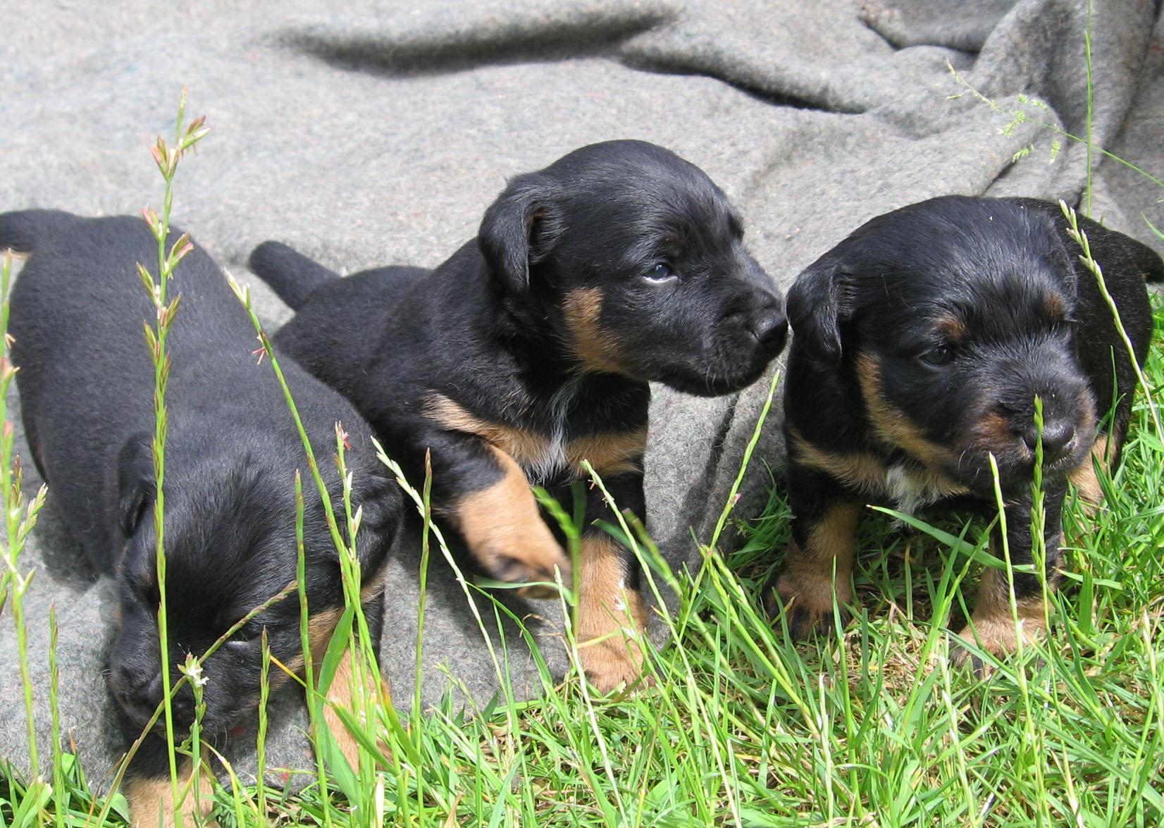 Cierny Sery Puppies: Cierny Cute Jagdterrier Puppies Breed