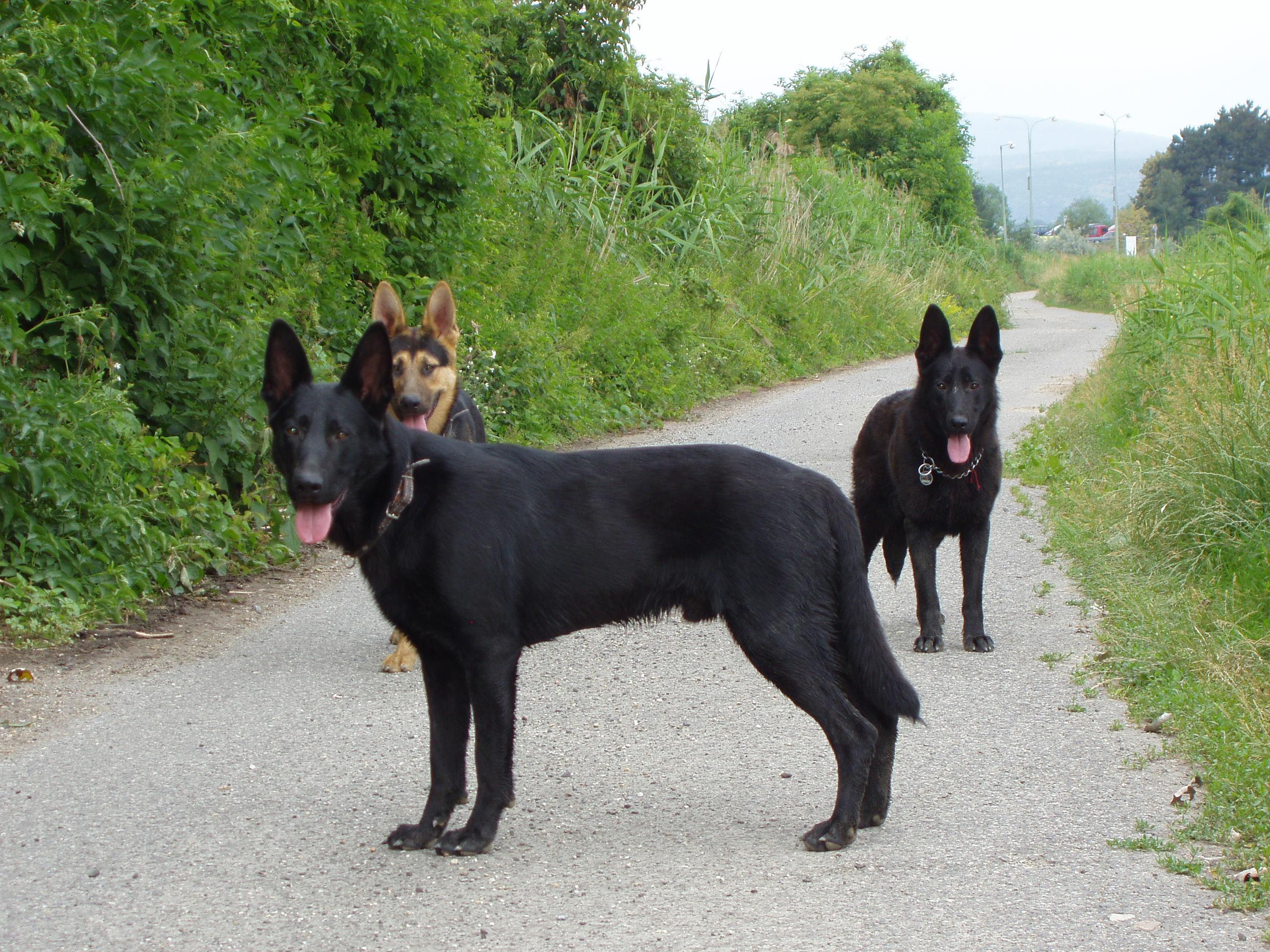 Cierny Sery Puppies: Cierny Dogs S Cute Round Face Of Weimaraner Puppy Breed