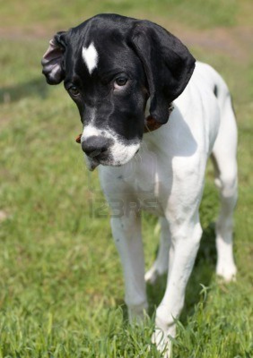 Cierny Sery Puppies: Cierny Pointer Dog Puppy Breed