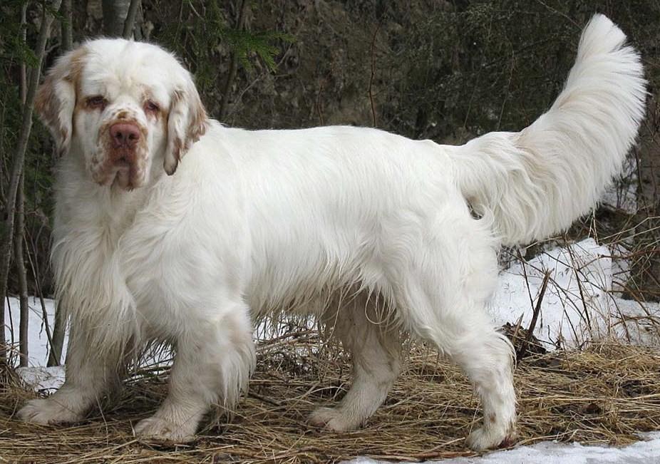 Clumber Spaniel Dog: Clumber Clumber Spanial Breed