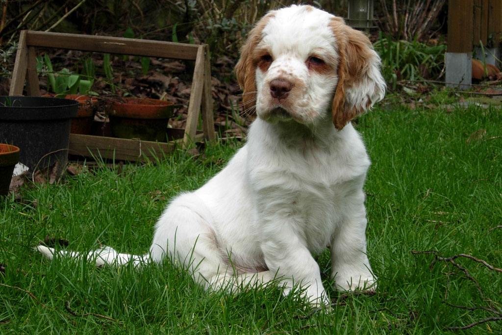 Clumber Spaniel Puppies: Clumber Clumber Spaniel Breed