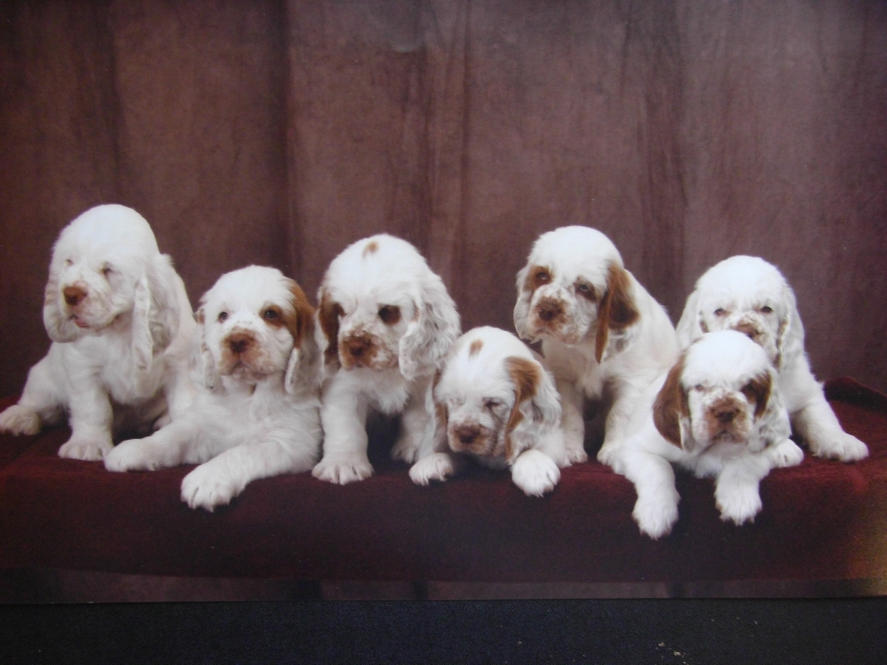 Clumber Spaniel Puppies: Clumber Clumber Spaniel Breeders Profiles And
