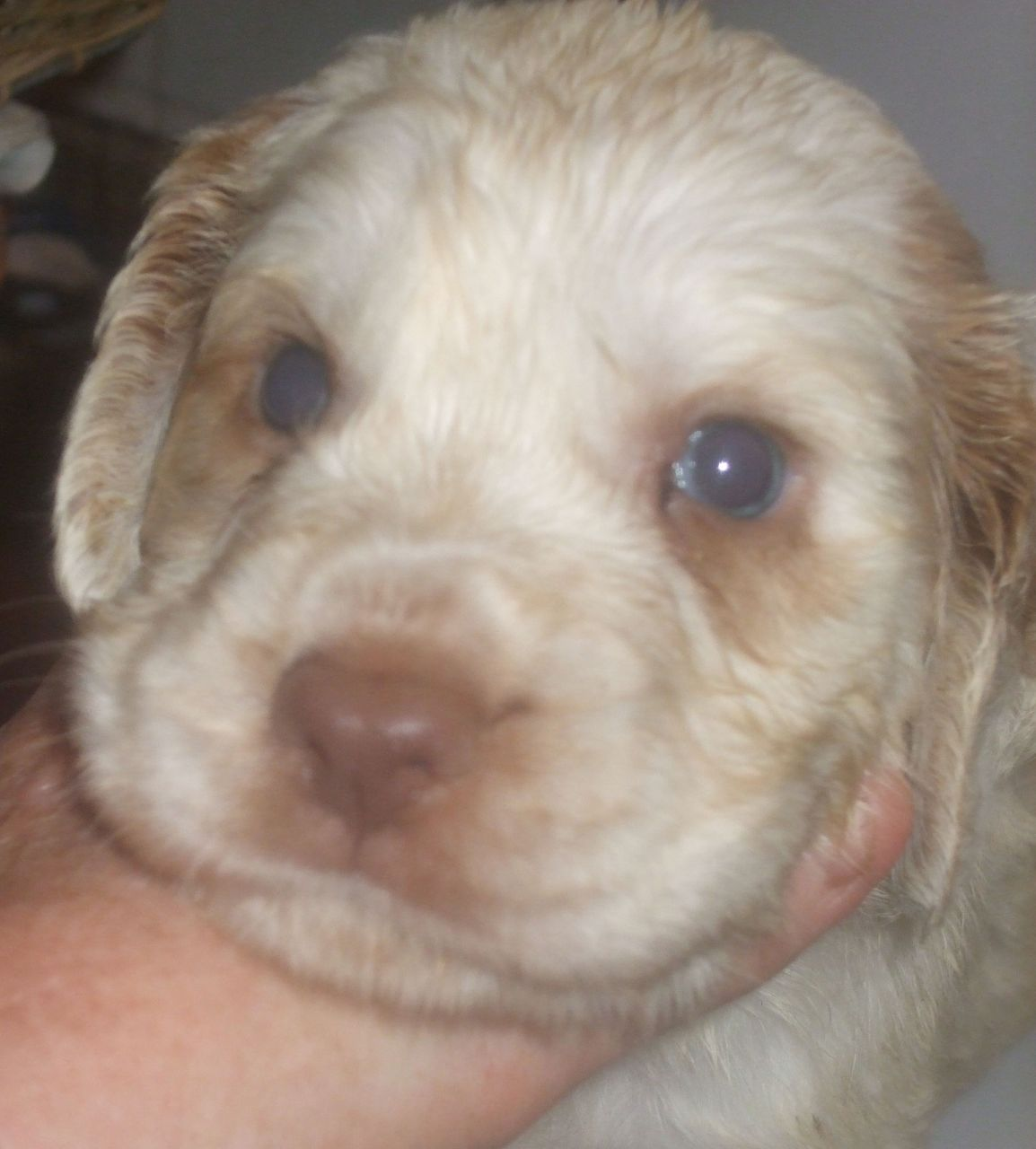 Clumber Spaniel Puppies: Clumber Clumber Spaniel Male Puppyeddy Norwich Breed