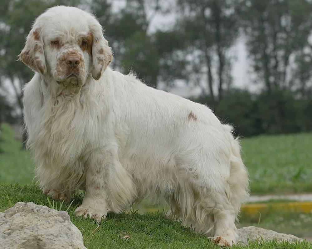 Clumber Spaniel Dog: Clumber Clumber Spanyeli Breed