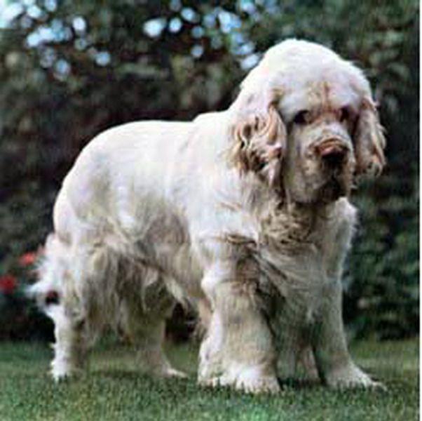 Clumber Spaniel Dog: Clumber Clumberspaniel Breed