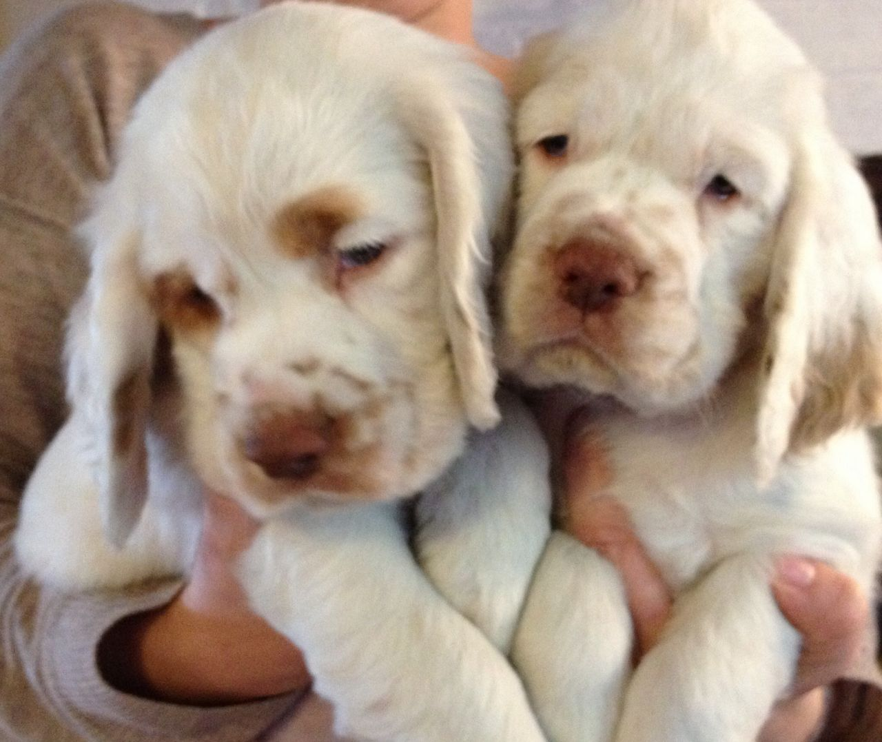 Clumber Spaniel Puppies: Clumber Kc Clumber Spaniel Pups With Coi Of Ramsgate Breed