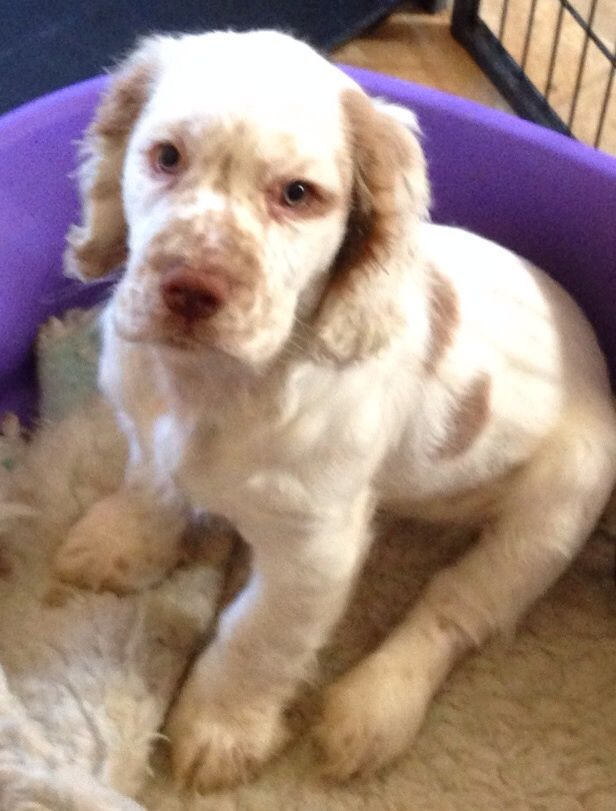 Clumber Spaniel Puppies: Clumber Stunning Working Clumber Spaniel Puppies Available Mansfield Breed