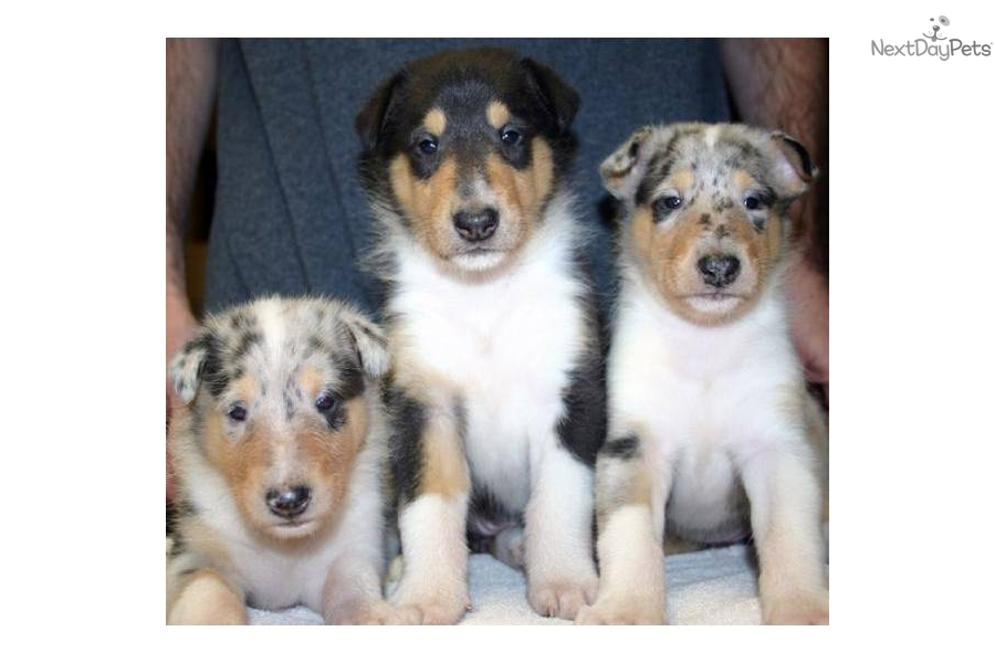 Collie, Smooth Puppies: Collie, Aba Breed