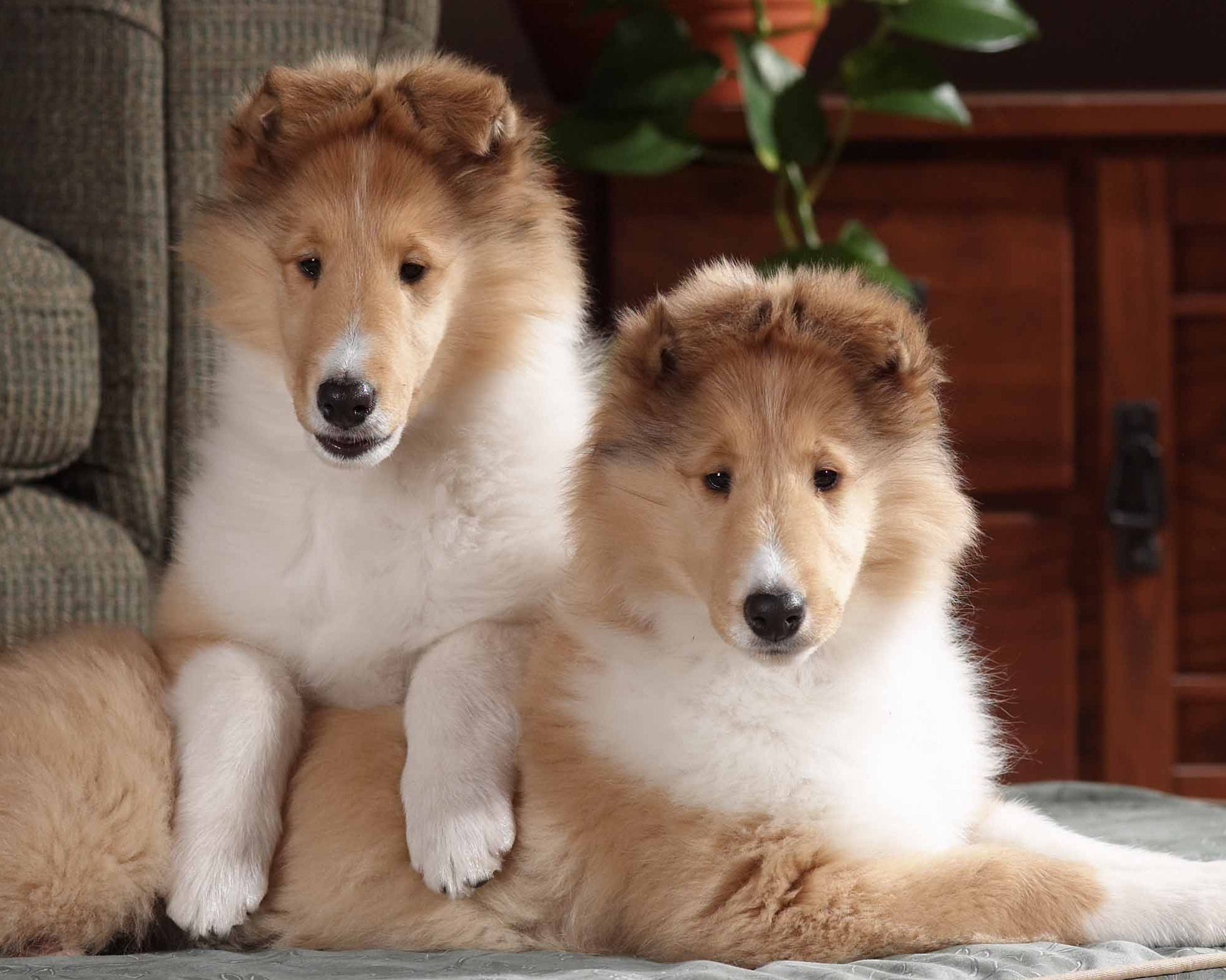 Collie, Rough Puppies: Collie, Breed