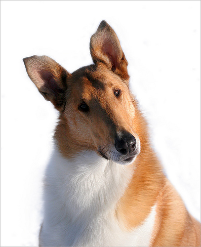 Collie, Smooth Puppies: Collie, Collie Gallery Pictures Of Collies Breed