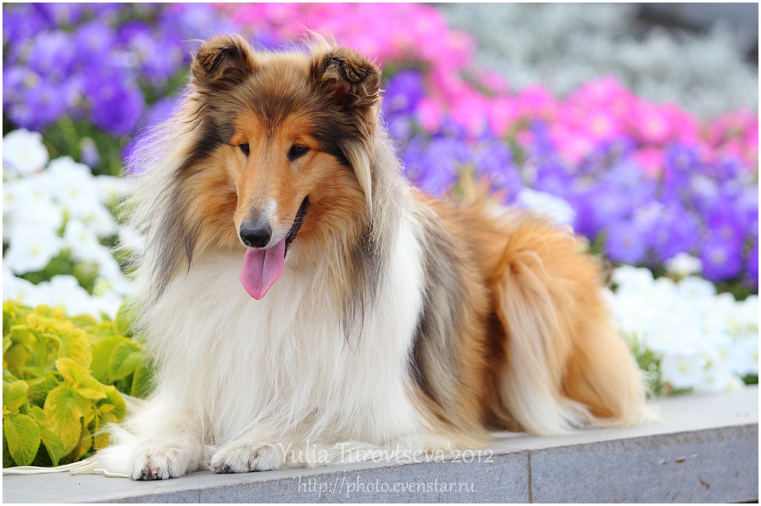 Collie, Rough Dog: Collie, Collie Rough Dog In Flowers Pic Breed