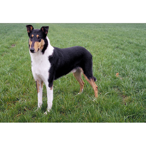 Collie, Smooth Dog: Collie, Collie Smooth Breed