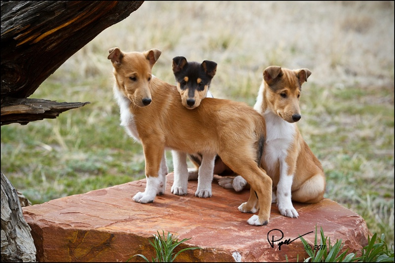 Collie, Smooth Puppies: Collie, Dynogalldetail Breed