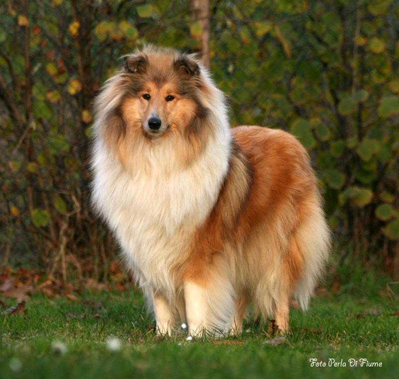 Collie, Rough Dog: Collie, Rough Collie Breed