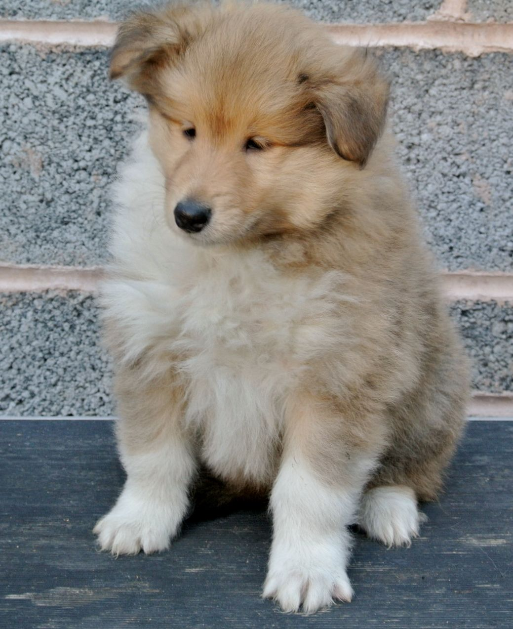Collie, Rough Puppies: Collie, Rough Collie Puppies Birmingham Breed