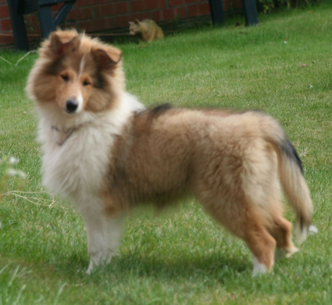 Collie, Rough Puppies: Collie, Rough Collie Puppies Breed