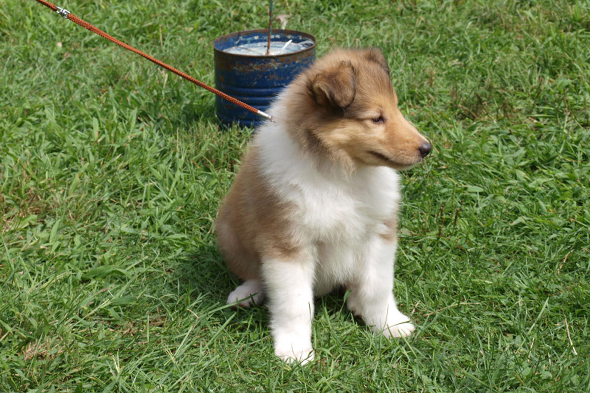 Collie, Rough Dog - Puppy Dog Gallery