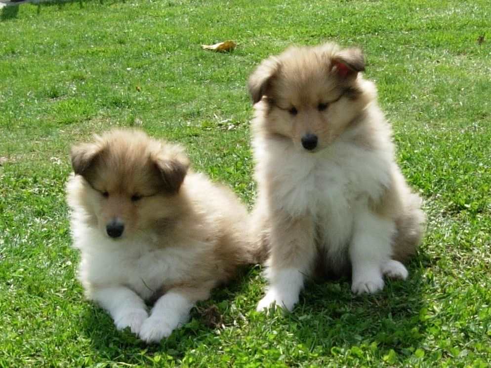 Collie, Rough Puppies: Collie, Rough Collie Puppies Leicester Breed