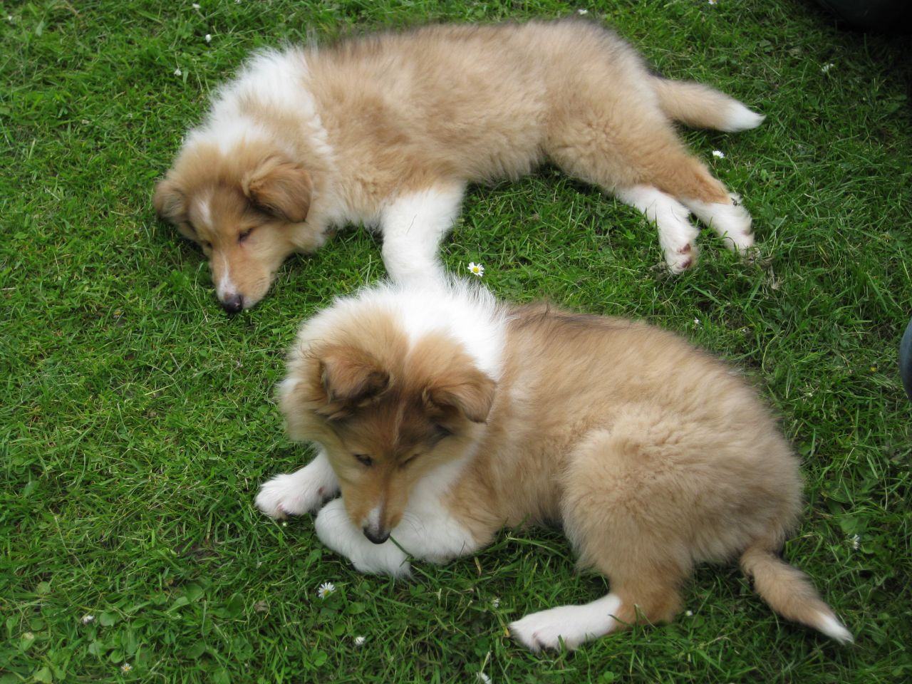 Collie, Rough Puppies: Collie, Rough Collie Puppies M F London Breed
