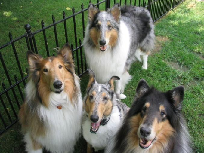 Collie, Smooth Dog: Collie, Smooth Collie Dog Breed
