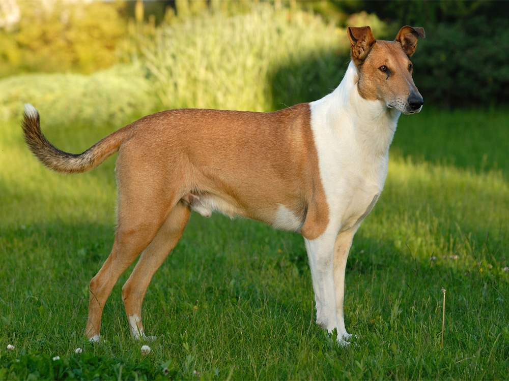 Collie, Smooth Dog: Collie, Smooth Collie Dog Standing In Field Puppies Breed