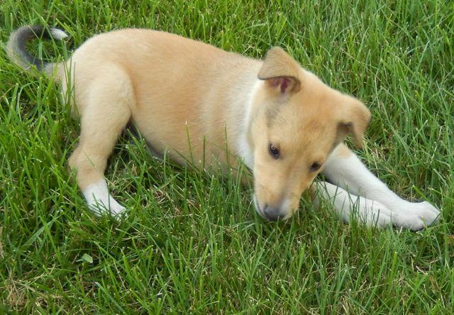 Collie, Smooth Puppies: Collie, Smooth Collie Puppies Breed