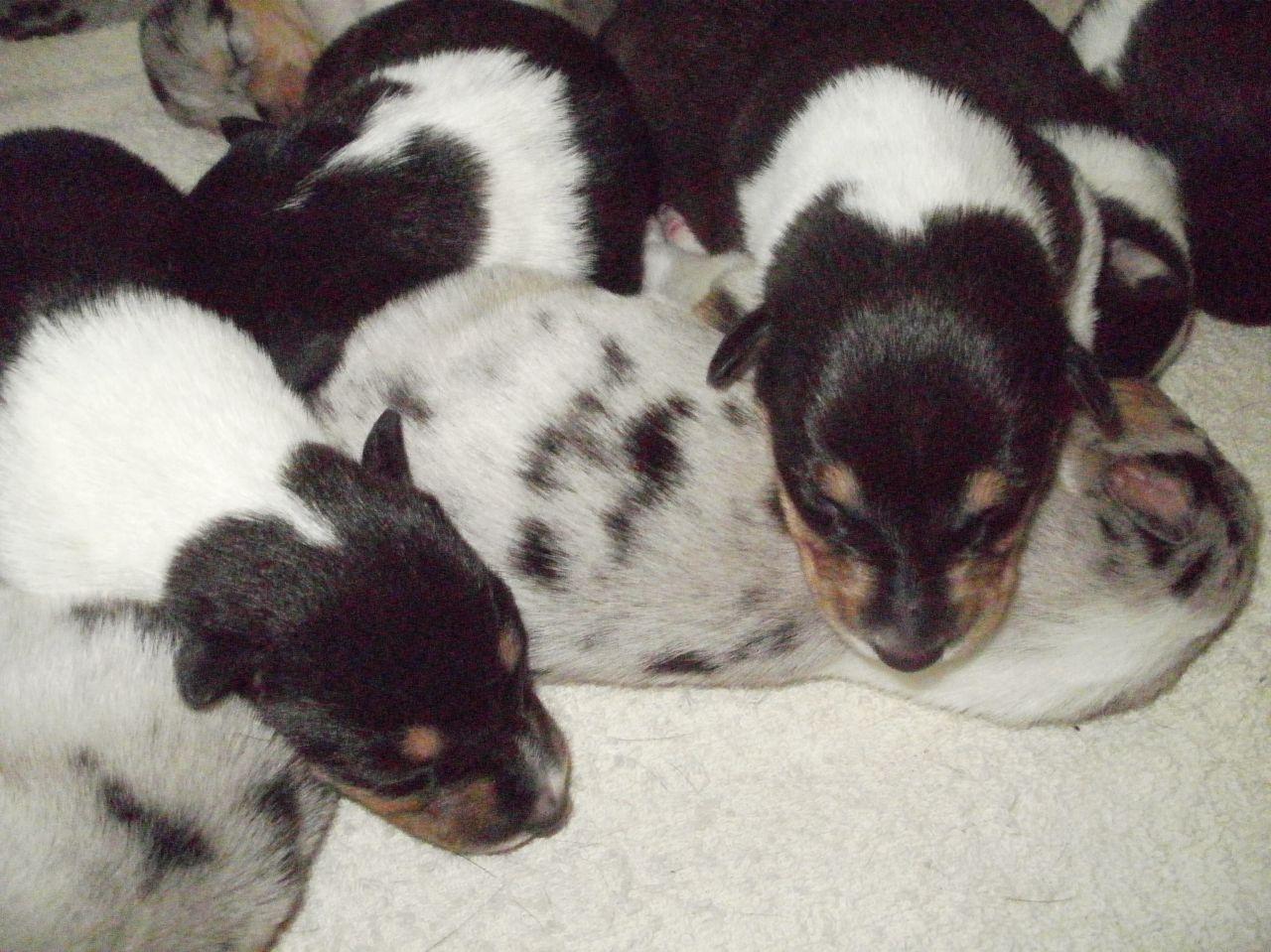 Collie, Smooth Puppies: Collie, Smooth Collie Puppies Herne Bay Breed