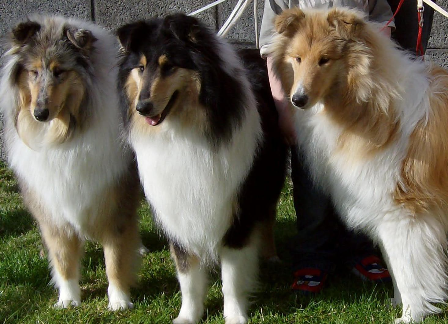 Collie, Rough Dog: Collie, Three Cute Collie Rough Dogs Pic Breed