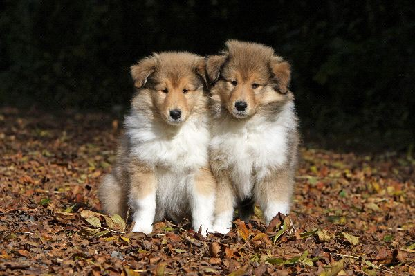 Collie, Rough Puppies: Collie, Tworoughcolliepuppies Breed