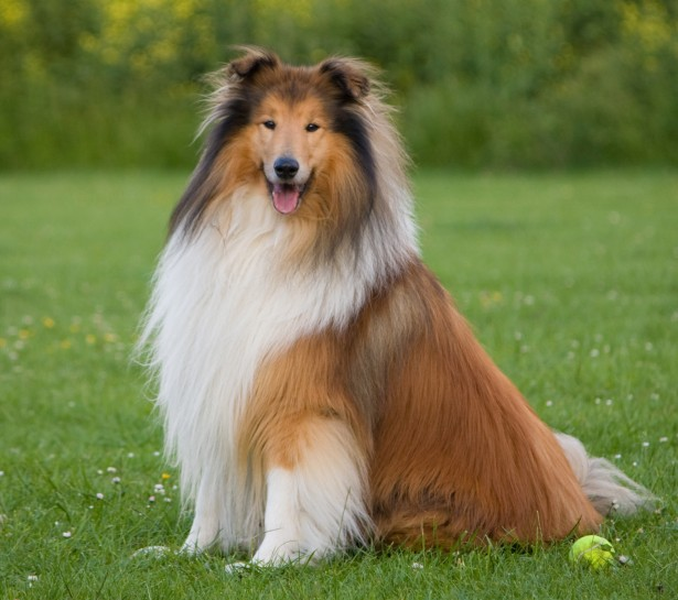 Collie, Rough Dog: Collie, View Breed
