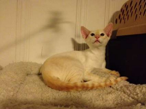 Colorpoint Shorthair Cat: Colorpoint Cat Breed Of The Day Colorpoint Shorthair