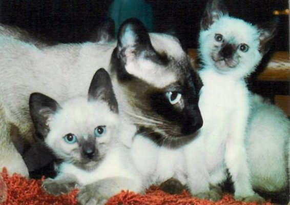 Colorpoint Shorthair Cat: Colorpoint Colorpoint Shorthair Cats Breed