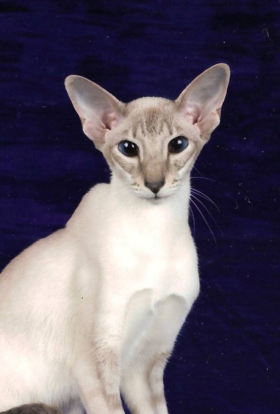 Colorpoint Shorthair Cat: Colorpoint Colorpoint Shorthair Pictures Breed