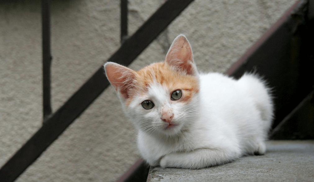 Colorpoint Shorthair Cat: Colorpoint Hypoallergenic Cat Breeds