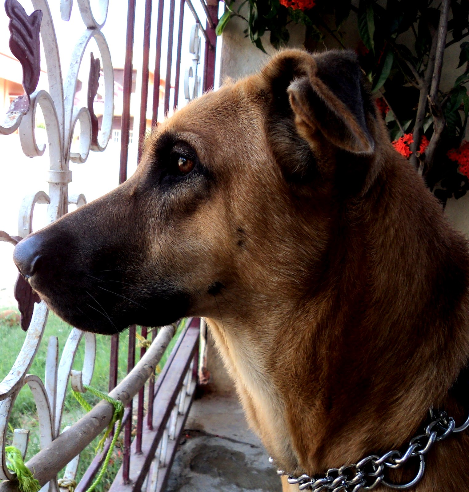 Combai Puppies: Combai Breed