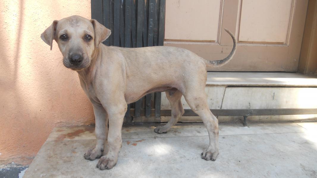 Combai Dog: Combai Chippiparai Puppies Breed
