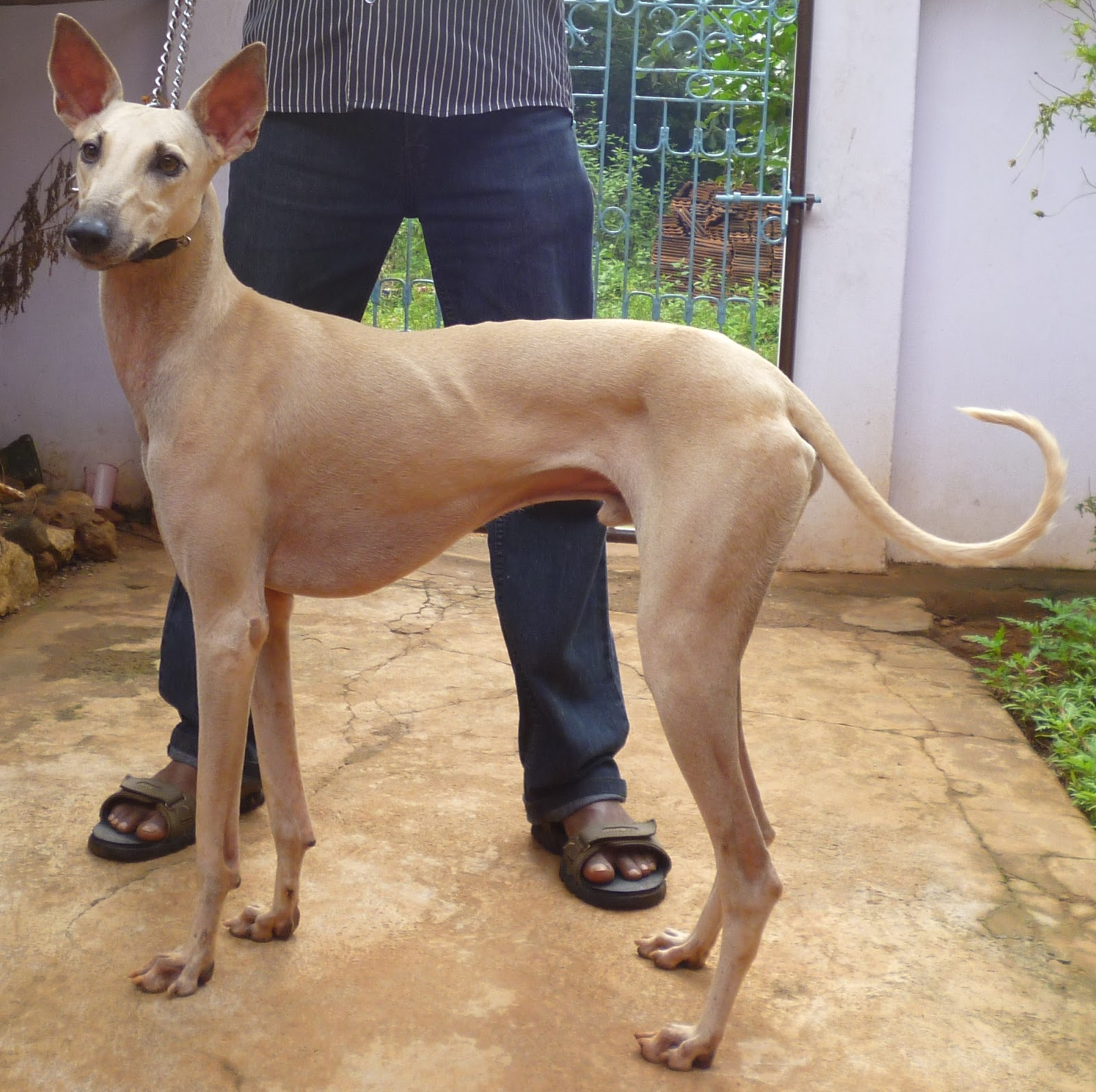 Combai Dog: Combai Chippiparai With The Owner Breed