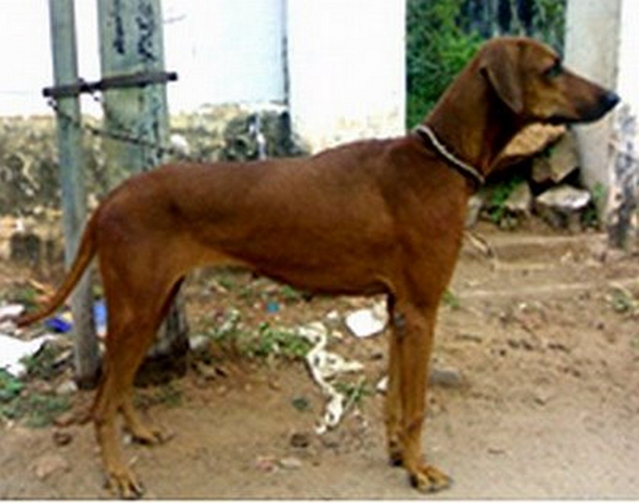Combai Puppies: Combai Combai Dog Side View Breed