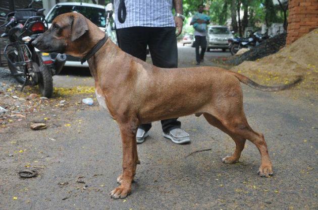 Combai Dog: Combai Combai Hound Breed