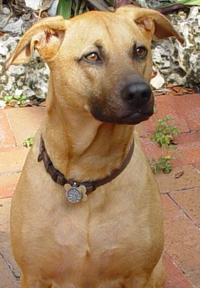 Combai Dog: Combai Indus Breeds